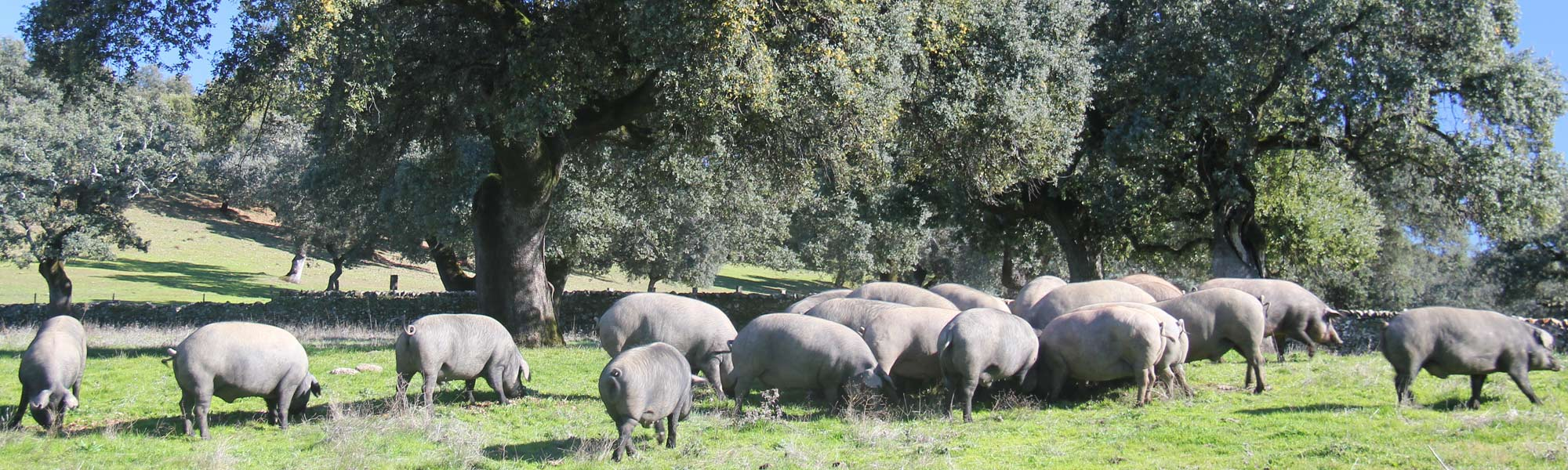 Iberian pigs in dehesa