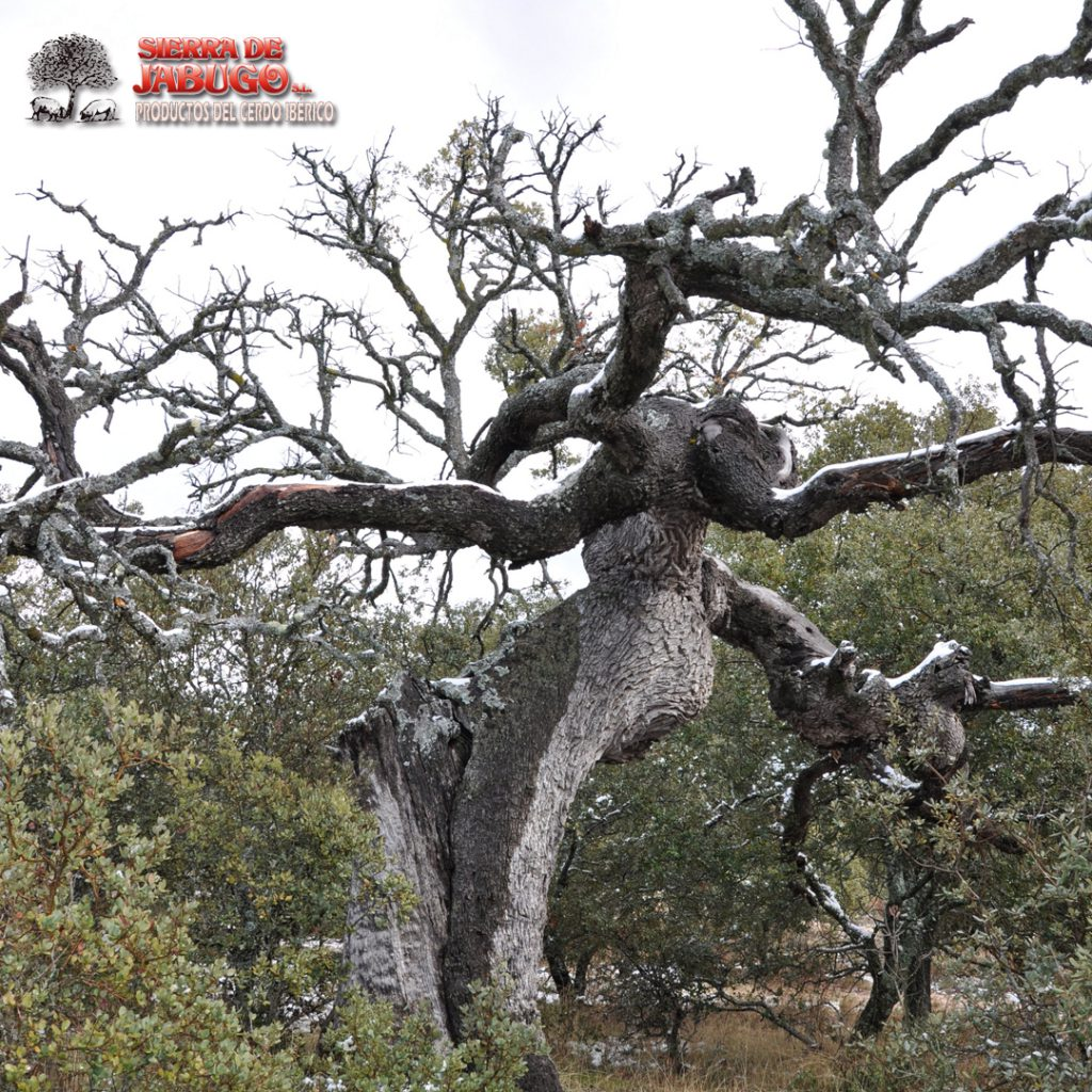 Dry of the holm oak and the cork oak